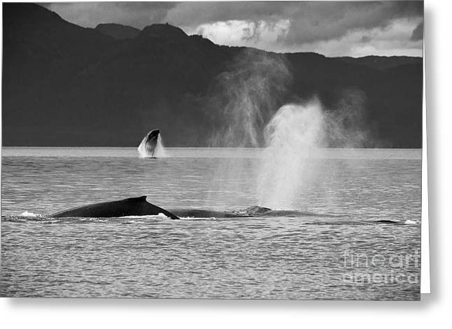 Busy Humpback Whale Pods Greeting Card by Darcy Michaelchuk