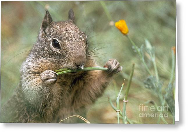 Greeting Card featuring the photograph California Ground Squirrel by Doug Herr