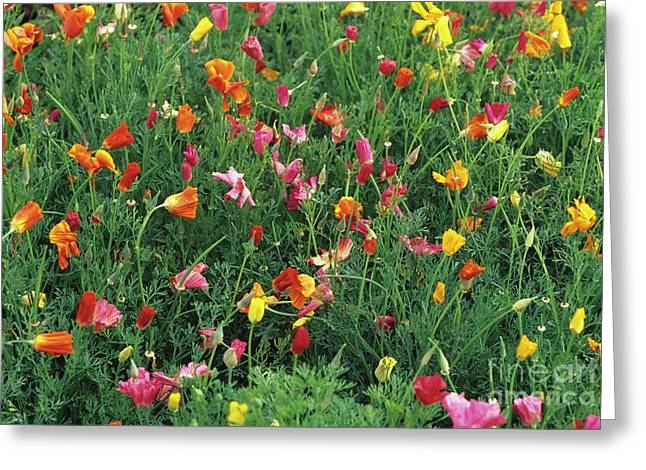 California Poppies Greeting Card by Duncan Smith