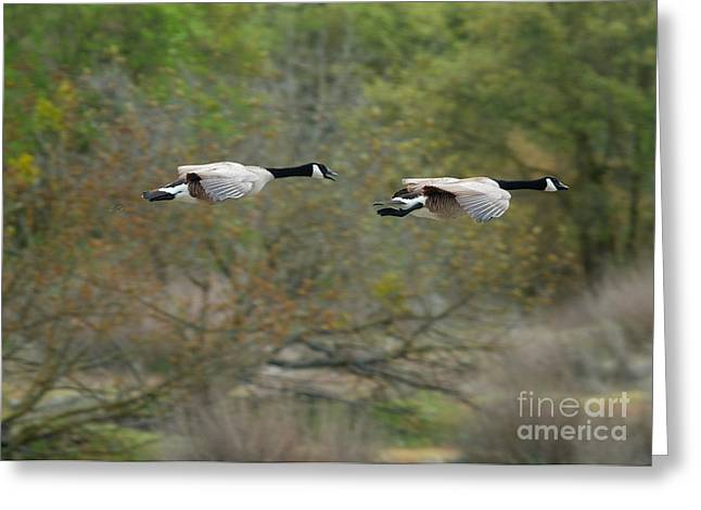 Greeting Card featuring the photograph Canada Geese by Doug Herr