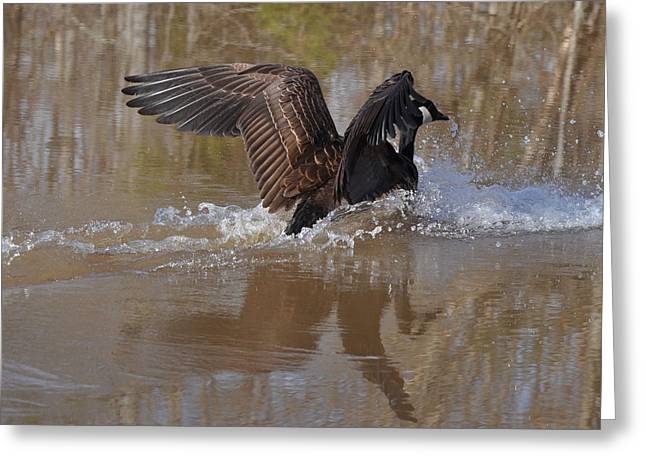 Canada Goose Landing C0255a Greeting Card by Paul Lyndon Phillips