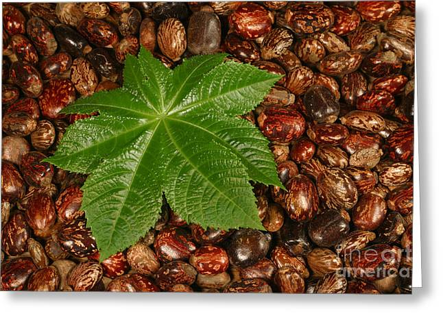Castor Bean Leaf And Seeds Greeting Card by Ted Kinsman