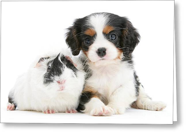 Cavalier King Charles Spaniel Pup Greeting Card by Mark Taylor