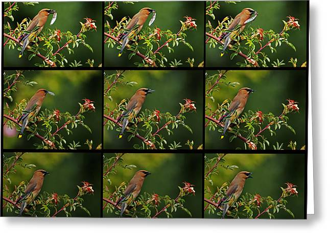 Cedar Wax Wing Having Lunch Greeting Card