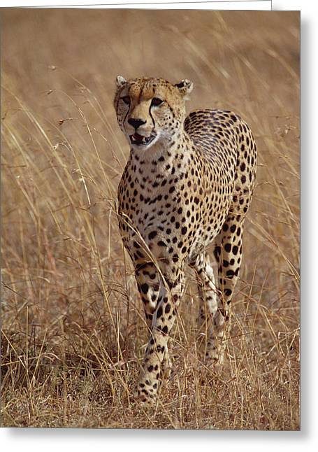 Cheetah Acinonyx Jubatus Portrait Greeting Card by Gerry Ellis