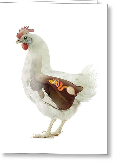 Chicken Reproduction, Artwork Greeting Card