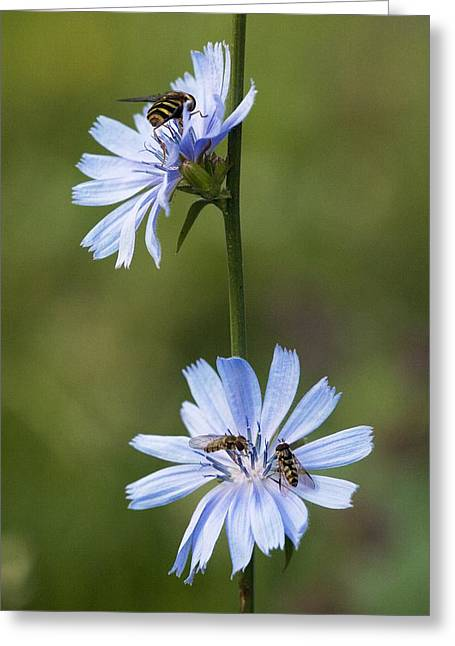 Chicory Flowers (cichorium Intybus) Greeting Card