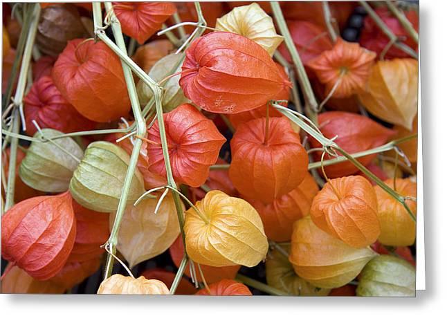 Chinese Lantern Flowers Greeting Card