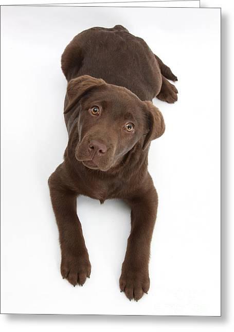 Chocolate Labrador Pup Greeting Card by Mark Taylor