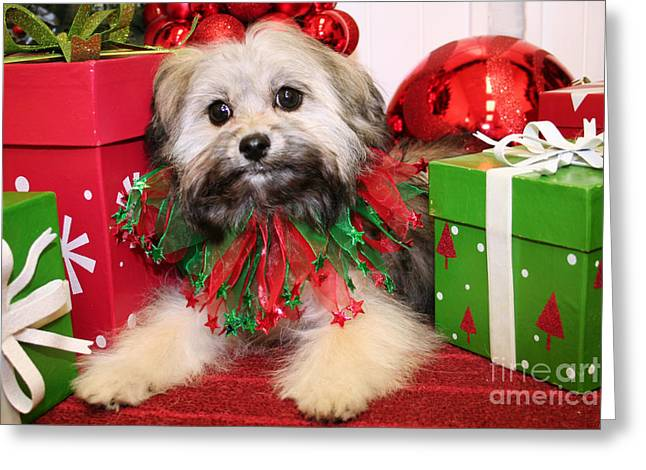 Christmas Portraits - Shihpoo Greeting Card