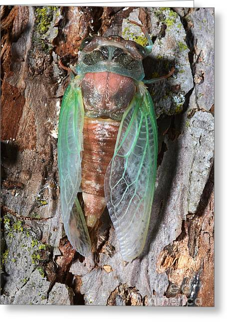 Cicada Metamorphosis Greeting Card by Ted Kinsman