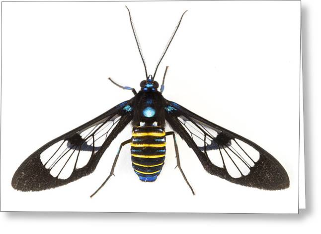 Clearwinged Tiger Moth Tapanti Np Costa Greeting Card by Piotr Naskrecki