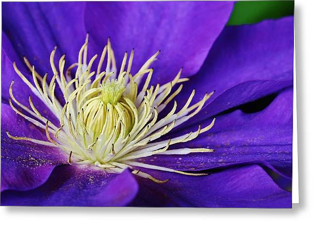 Clematis Close Up Greeting Card by Bruce Bley