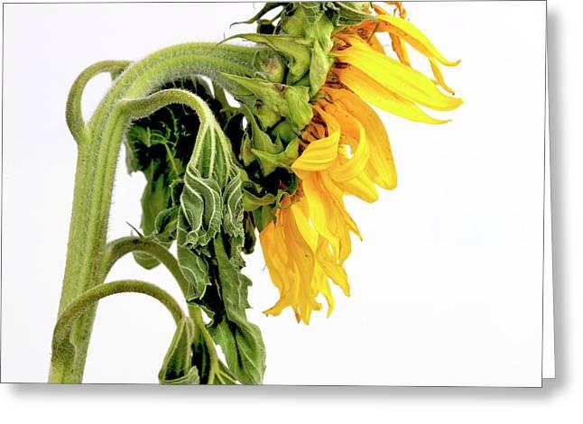 Close Up Of Sunflower. Greeting Card by Bernard Jaubert