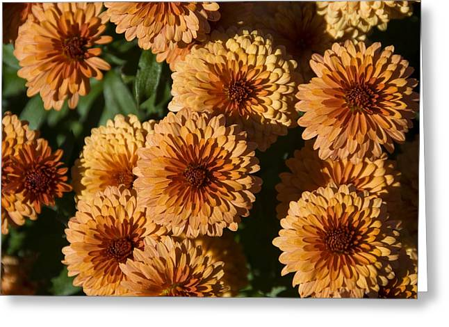 Close-up View Of Orange Mums In Bloom Greeting Card by Todd Gipstein