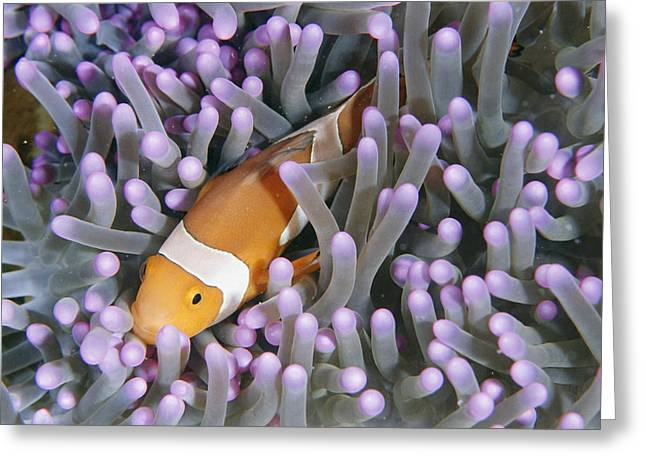Clown Anemonefish In Sea Anemone Greeting Card