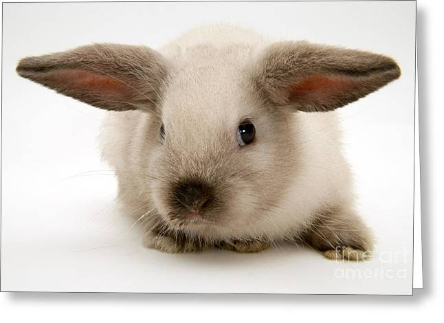 Colorpoint Baby Lop Rabbit Greeting Card by Jane Burton