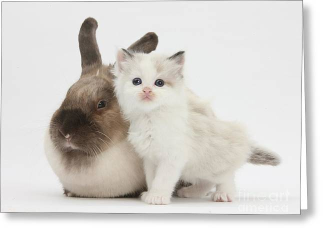 Colorpoint Kitten And Colorpoint Rabbit Greeting Card by Mark Taylor
