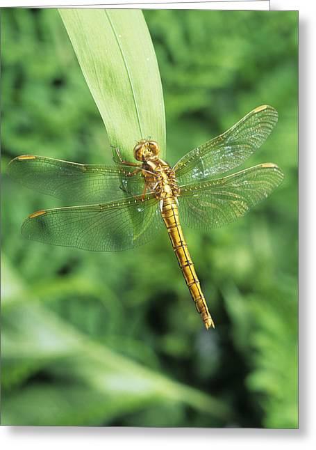 Common Darter Dragonfly Greeting Card by David Aubrey