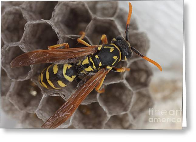 Common Wasp Greeting Card by Ted Kinsman
