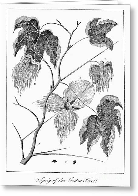 Cotton Plant, 1796 Greeting Card by Granger