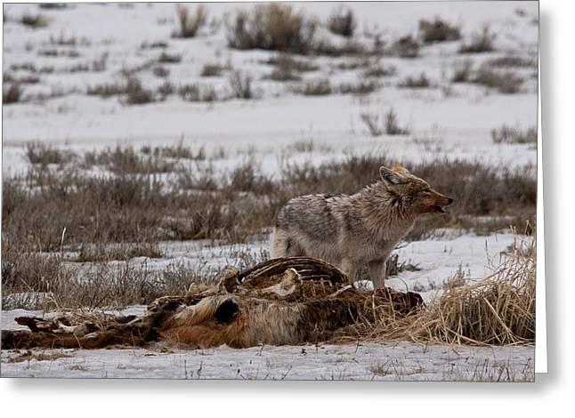 Coyote National Elk Refuge Greeting Card