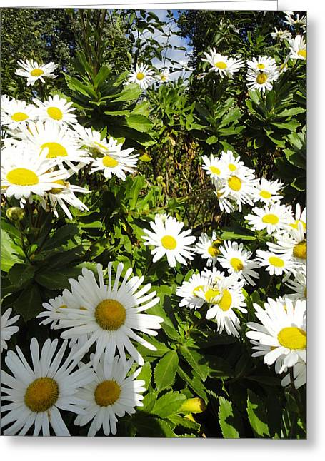 Crowd Of Daisies Greeting Card by Guy Ricketts