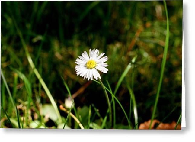 Daisy Daisy Greeting Card by Isabella F Abbie Shores