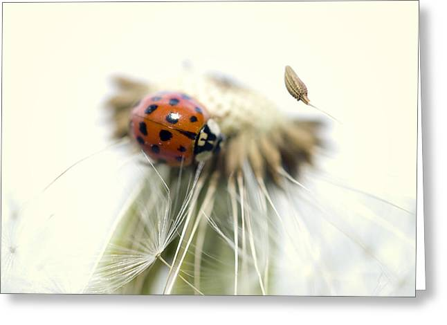 Dandelion Ladybugs Greeting Card