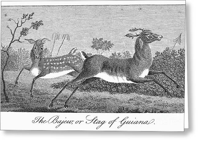 Deer, 1796 Greeting Card by Granger