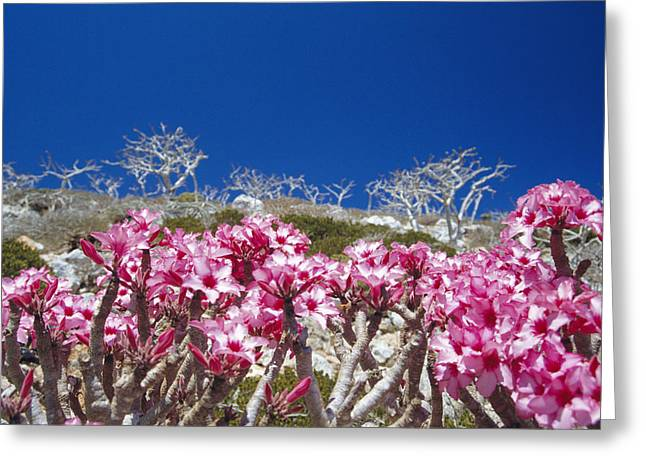 Desert Rose Flowers Greeting Card by Diccon Alexander