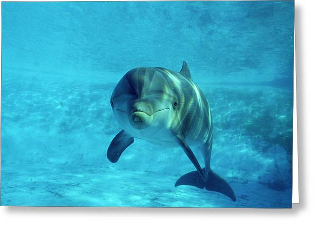 Dolphin In Captivity Greeting Card by Alexis Rosenfeld