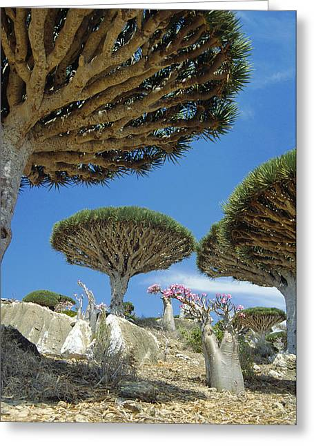 Dragon's Blood Trees Greeting Card by Diccon Alexander