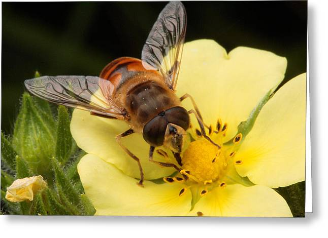 Drone Fly, Earistalis Greeting Card by George Grall