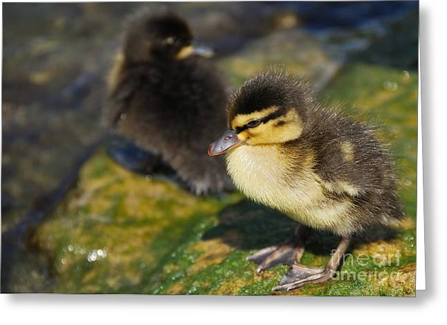Ducklings Greeting Card by Alan Clifford
