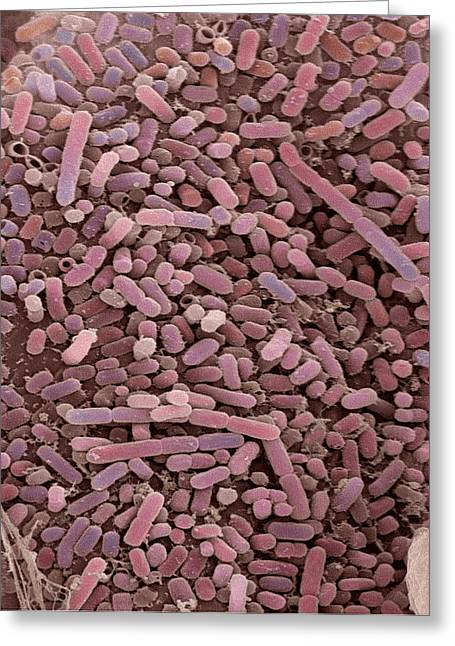 E. Coli Bacteria, Sem Greeting Card by Steve Gschmeissner