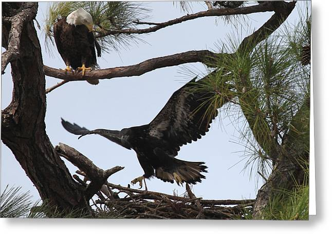 Eaglet First Flight Greeting Card