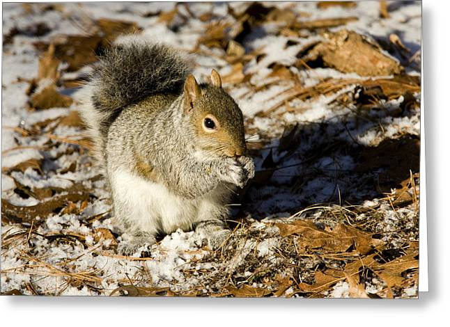 Eastern Gray Squirrel Sciurus Greeting Card by Tim Laman