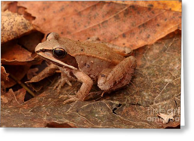 Eastern Wood Frog Greeting Card by Ted Kinsman