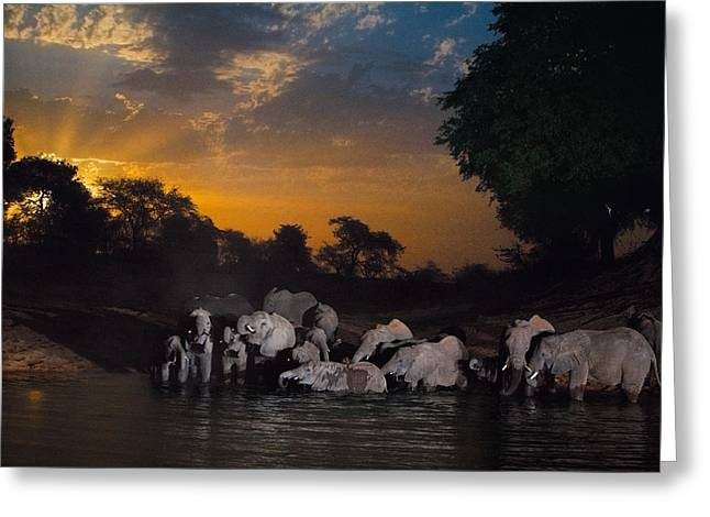 Elephants Drink At The Last Remaining Greeting Card