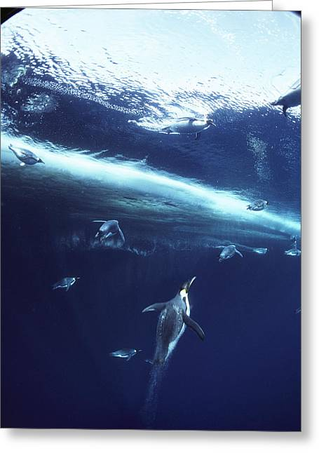 Emperor Penguins Swimming Underwater Greeting Card by Bill Curtsinger