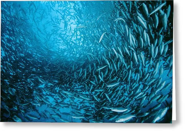 Farmed Sea Bass Greeting Card by Alexis Rosenfeld
