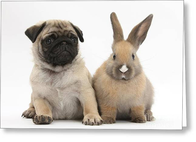 Fawn Pug Pup And Young Rabbit Greeting Card