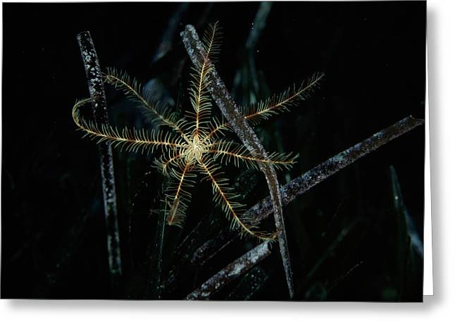 Featherstar Greeting Card by Alexis Rosenfeld
