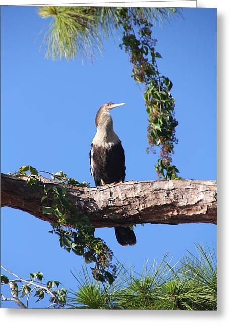 Female Anhinga Greeting Card by Rosalie Scanlon