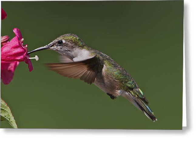 Female Ruby-throated Greeting Card