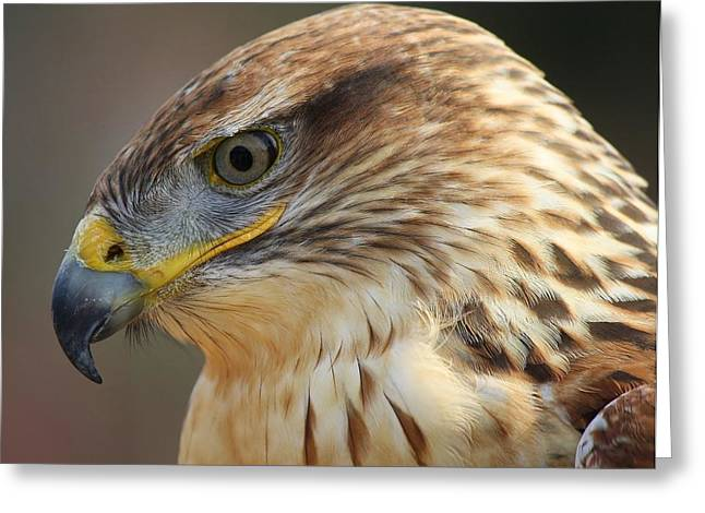 Ferruginous Hawk Greeting Card by Paulette Thomas