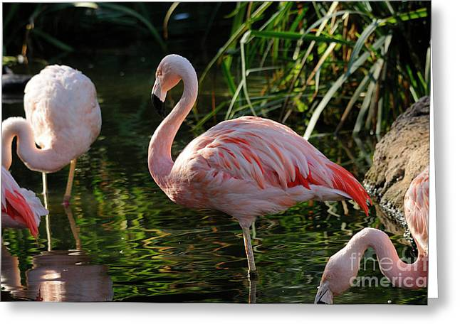 Flamingo Greeting Card by Marc Bittan
