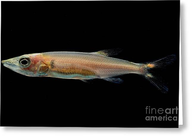 Freshwater Barracuda Greeting Card by Dant� Fenolio