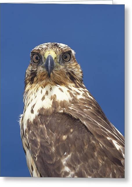 Galapagos Hawk Buteo Galapagoensis Greeting Card by Tui De Roy